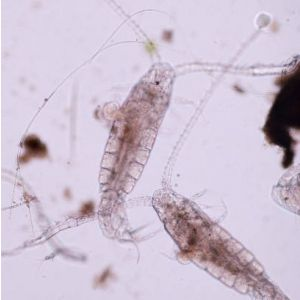 Live Food Copepods