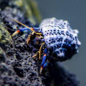 Dwarf Blue Legged Hermit Crab M