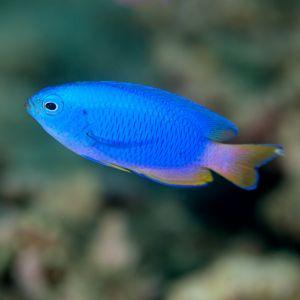 Blue Neon Damsel