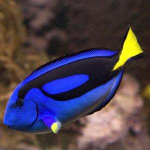 Regal Blue Tang (Large)