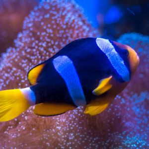 Blue Stripe Clarkii Clown Fish