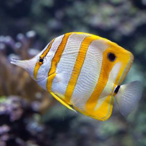 Copperband Butterflyfish Medium