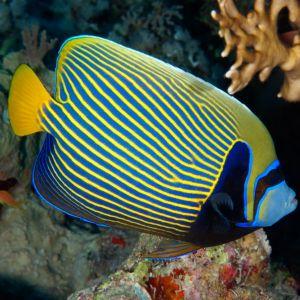 Emperor Angelfish Juvenile
