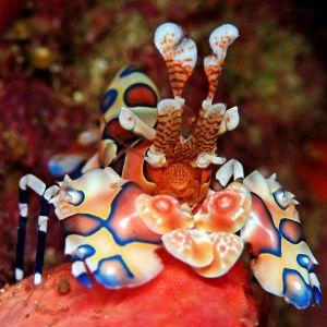 Harlequin Shrimp - Bonded Pair