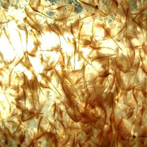 Live Food Brine Shrimp