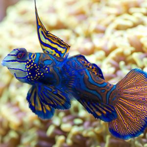 Mandarin Dragonet - Blue