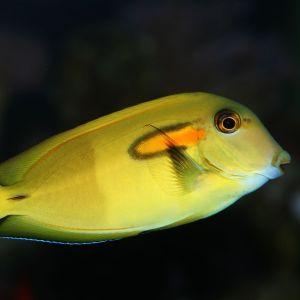 Orange Shoulder Tang XXL