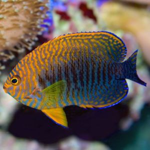 Potters Angelfish