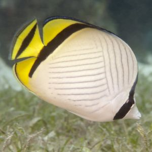 Vagabond Butterfly Fish