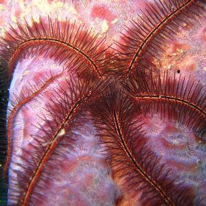 Zebra Brittle Star- red