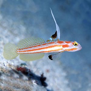 Hi Fin Clown Goby
