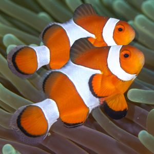True Percula Clown Fish Pair