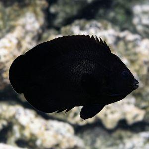 Midnight Angelfish
