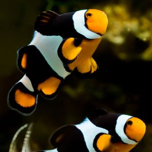 Black Onyx Clown Fish Pair