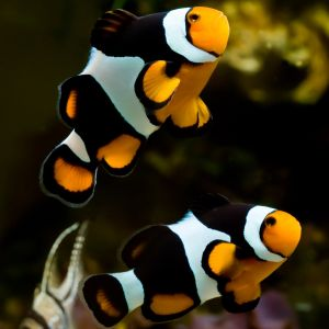 Midnight Clownfish - Pair