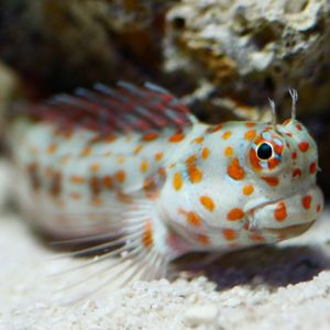 Red Spot / Orange spot Flymo Blenny