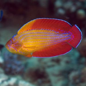 Eight Line Flasher Dwarf Parrot Wrasse