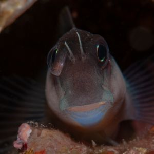Brown Coral Blenny