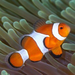 True Percular Clownfish Large