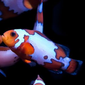 Snowflake Clown Fish Pair