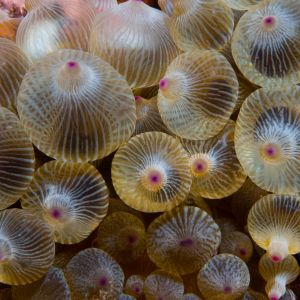 Bubble Tip Anemone - Large