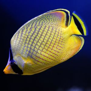 Lattice / Raffles Butterfly Fish
