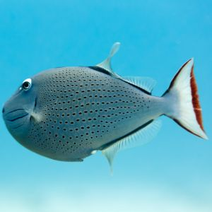 Red Tail Triggerfish