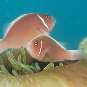 Pink Skunk Clownfish Pair