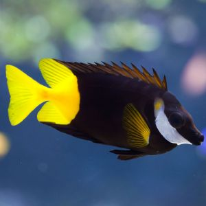 Fiji / Bi-Colour Foxface