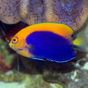 Fireball Angelfish