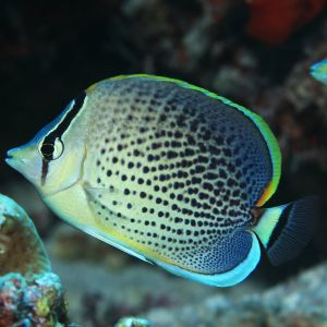 Pepperedblue Butterflyfish