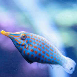 Orange Spot FileFish