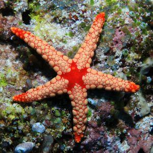 Marble Starfish