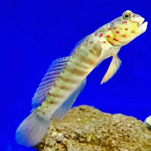 Pink Spot Watchman Goby & Tiger Shrimp Duo