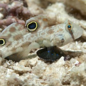 Twin Spot/Eye Spot Goby Large